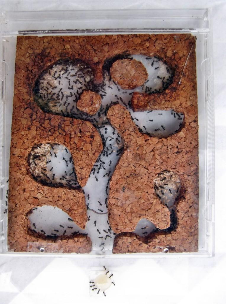 Kolonia Lasius niger