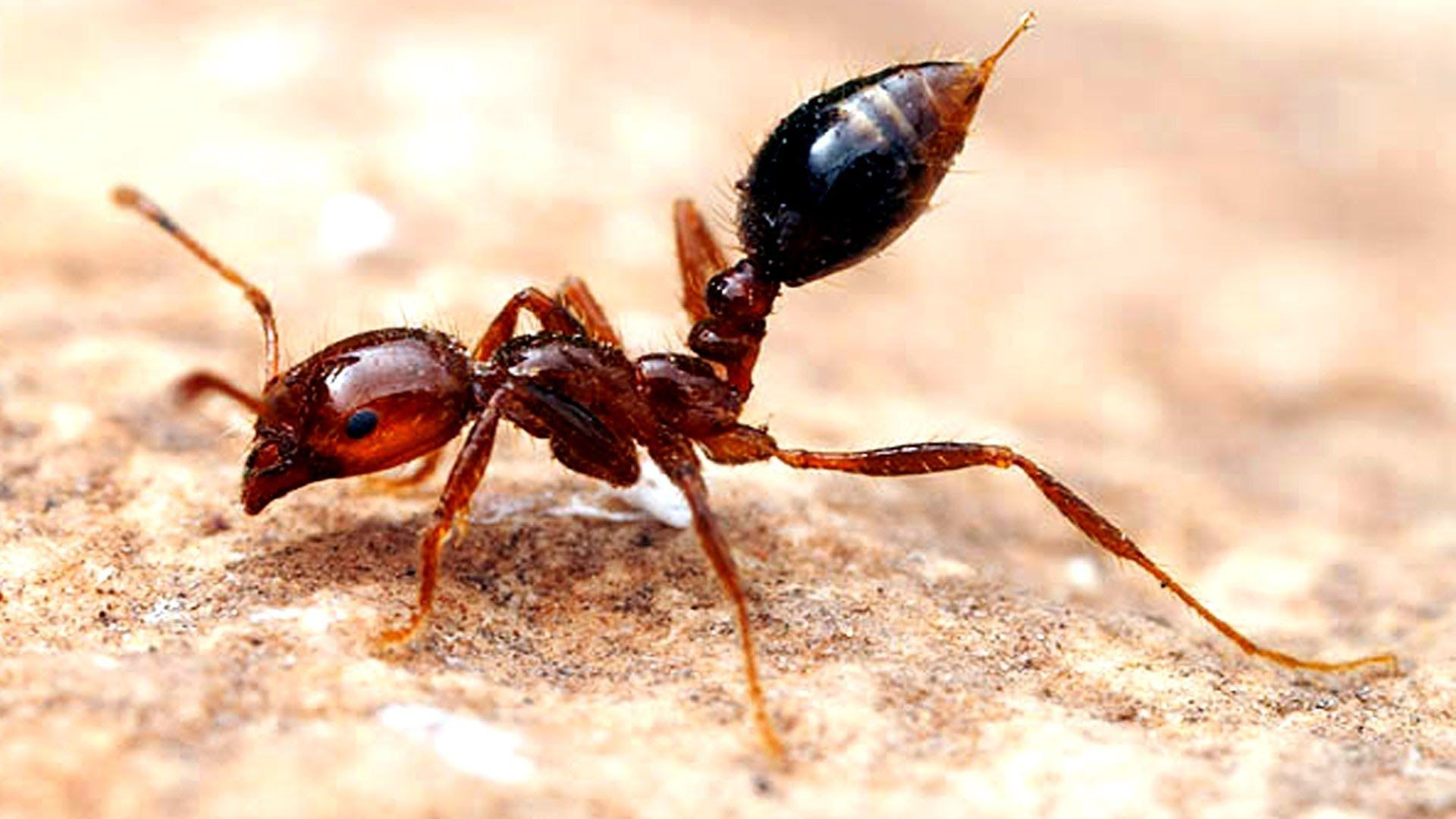 Mrówka ognista