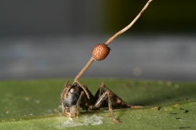 Grzyb w mrówce