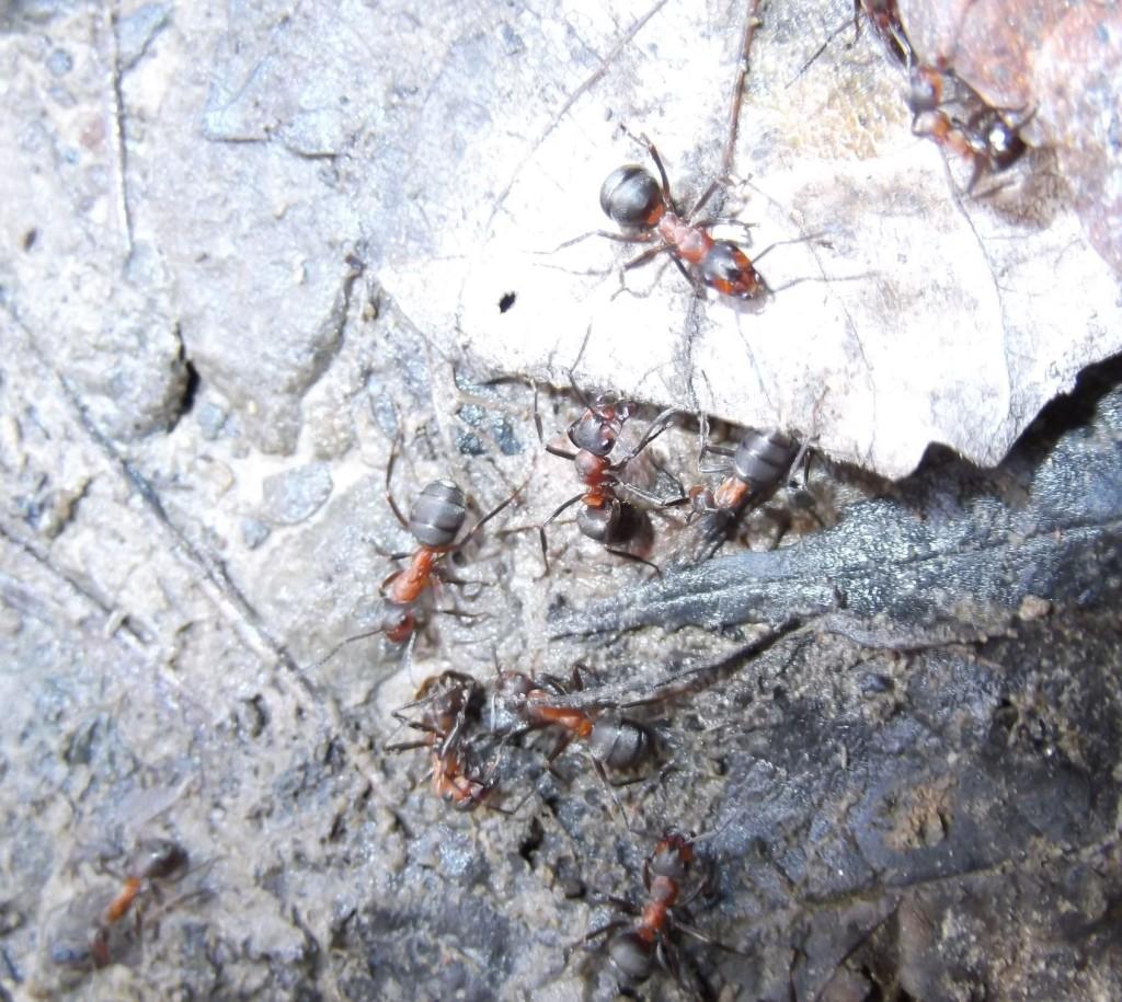 Formica polyctena (mrówka ćmawa)