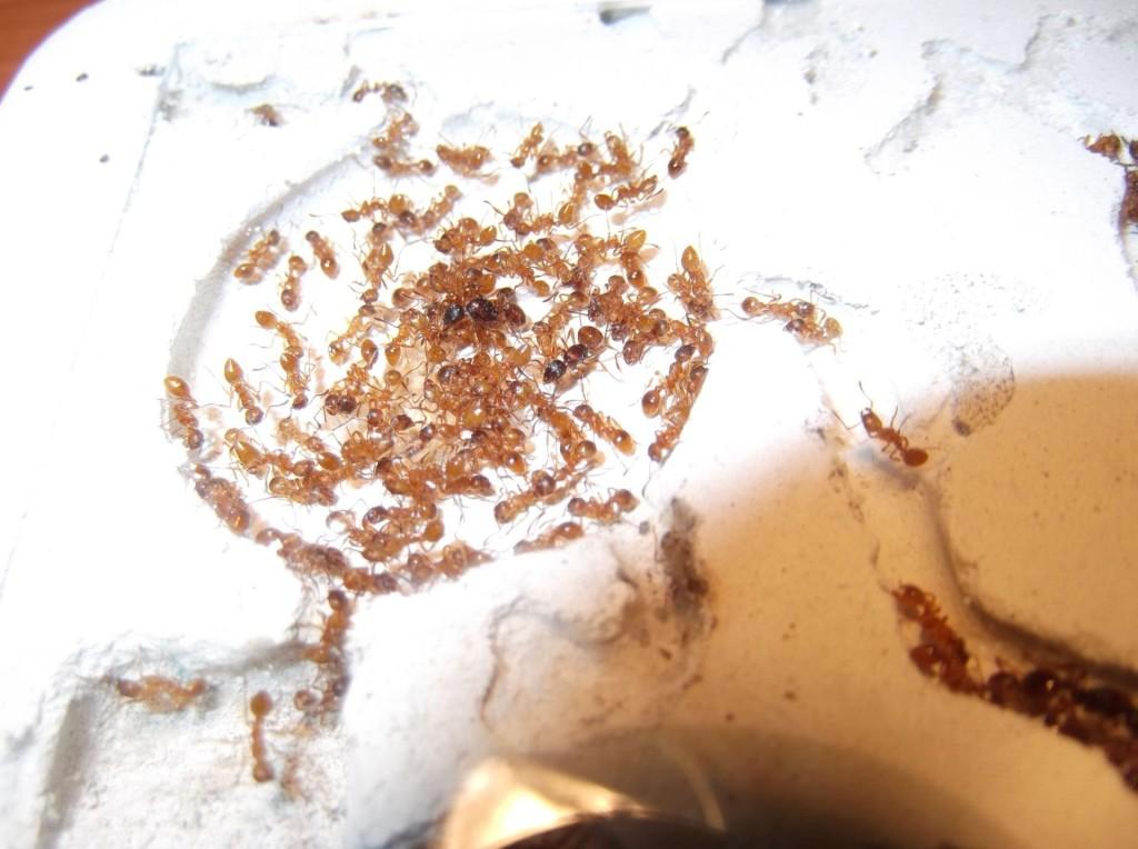 Myrmica rubra (wścieklica zwyczajna)