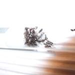 Formica cinerea (pierwomrówka żwirowa)