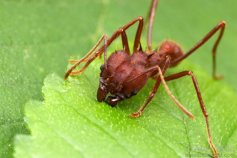 mrówki grzybiarki (Atta cephalotes)