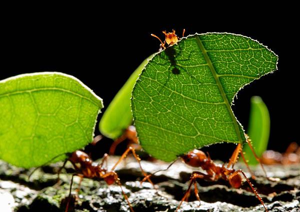 Mrówki grzybiarki