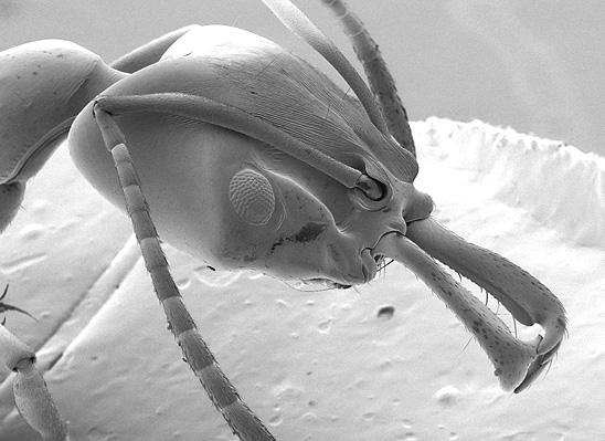 Anochetus faurei i jej żuwaczki