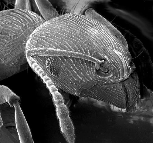 Mrówki w mikroskopie skaningowym