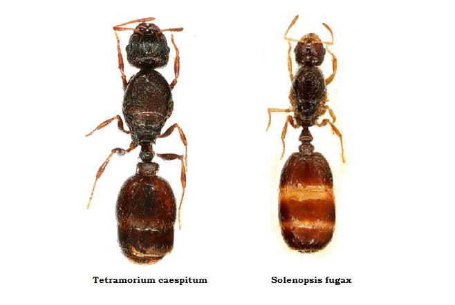 Tetramorium caespitum i Solenopsis fugax