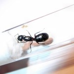 Camponotus herculeanus (gmachówka koniczek/cieśla)
