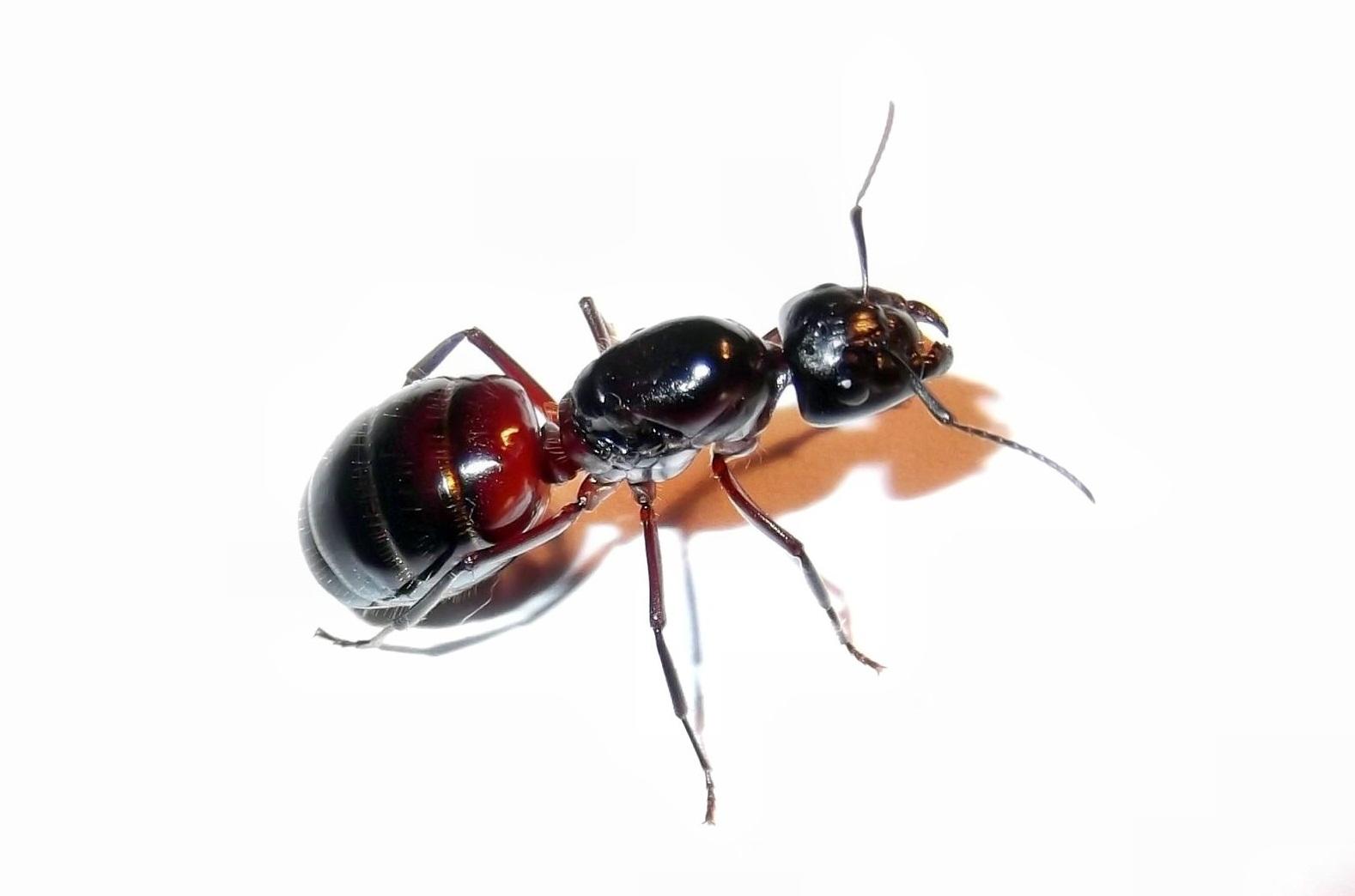 Camponotus ligniperdus (gmachówka drzewotoczna)