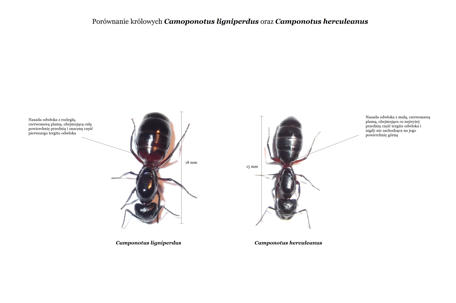 Camponotus ligniperdus i Camponotus herculeanus