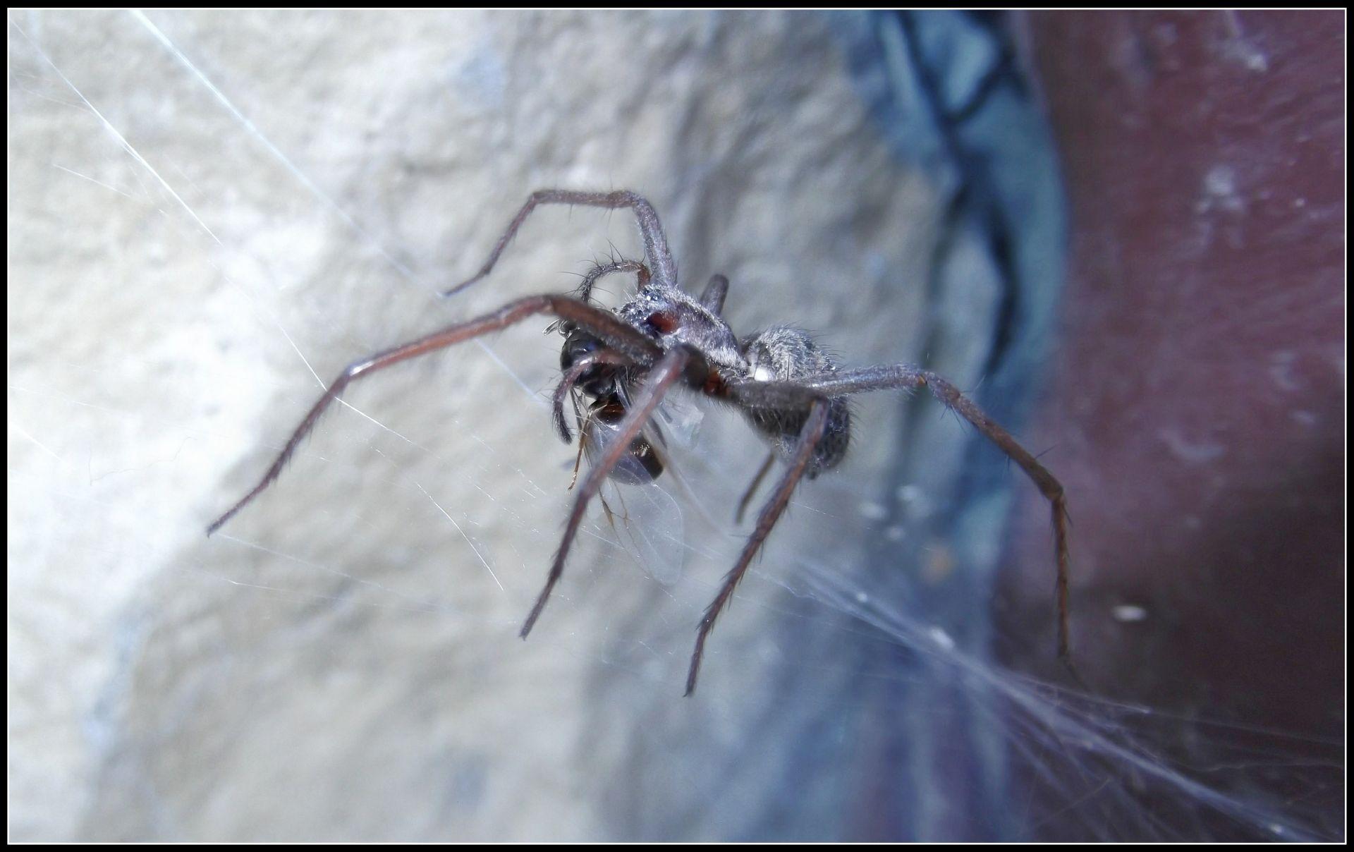 Królowa Lasius niger w sieci pająka