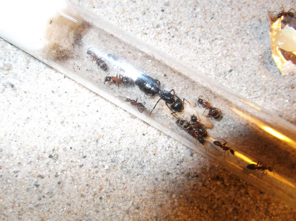 Etogram mrówek Camponotus herculeanus