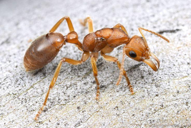 Nothomyrmecia macrops