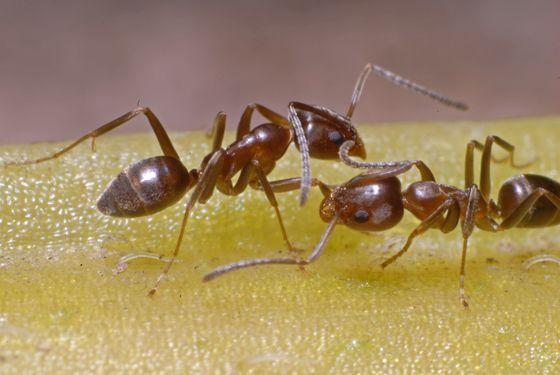 mrówki argentyńskie (Linepithema humile)