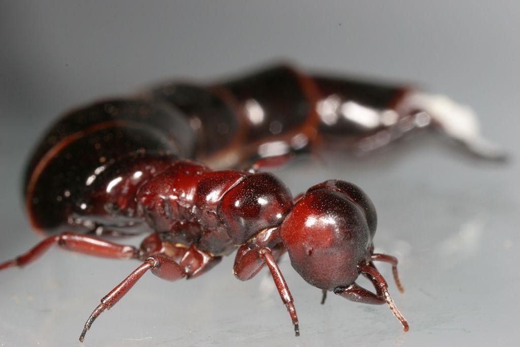 Dorylus molestus