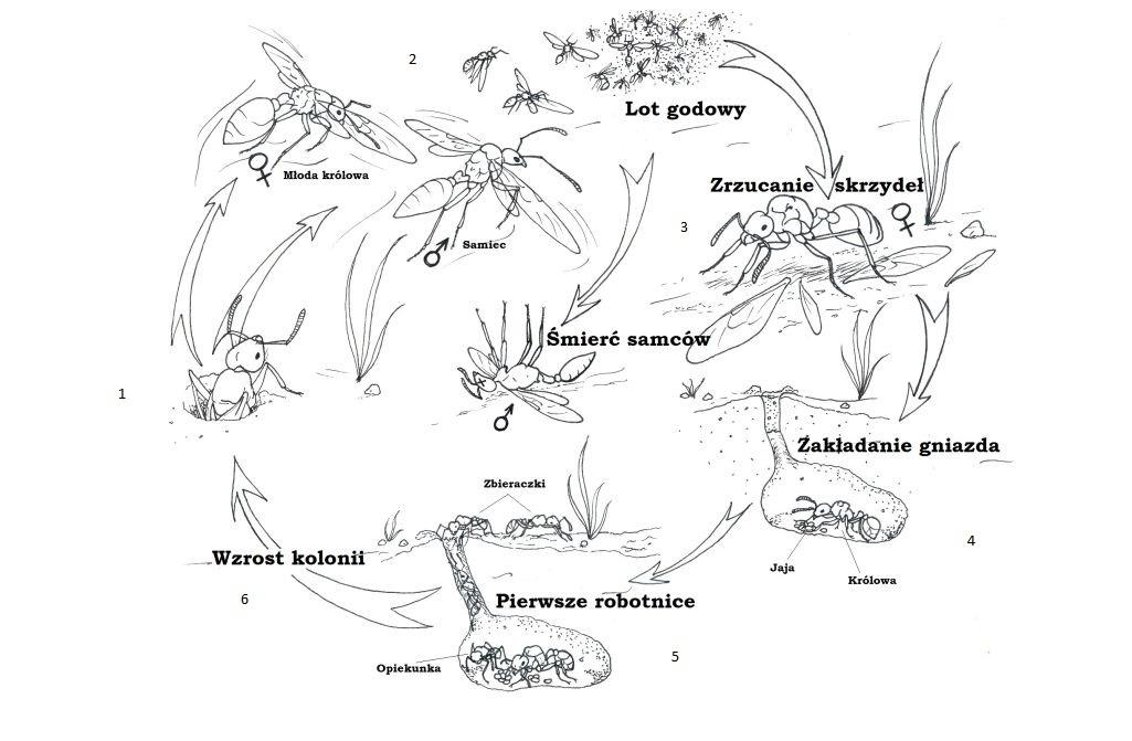 Cykl rozwojowy kolonii mrówek