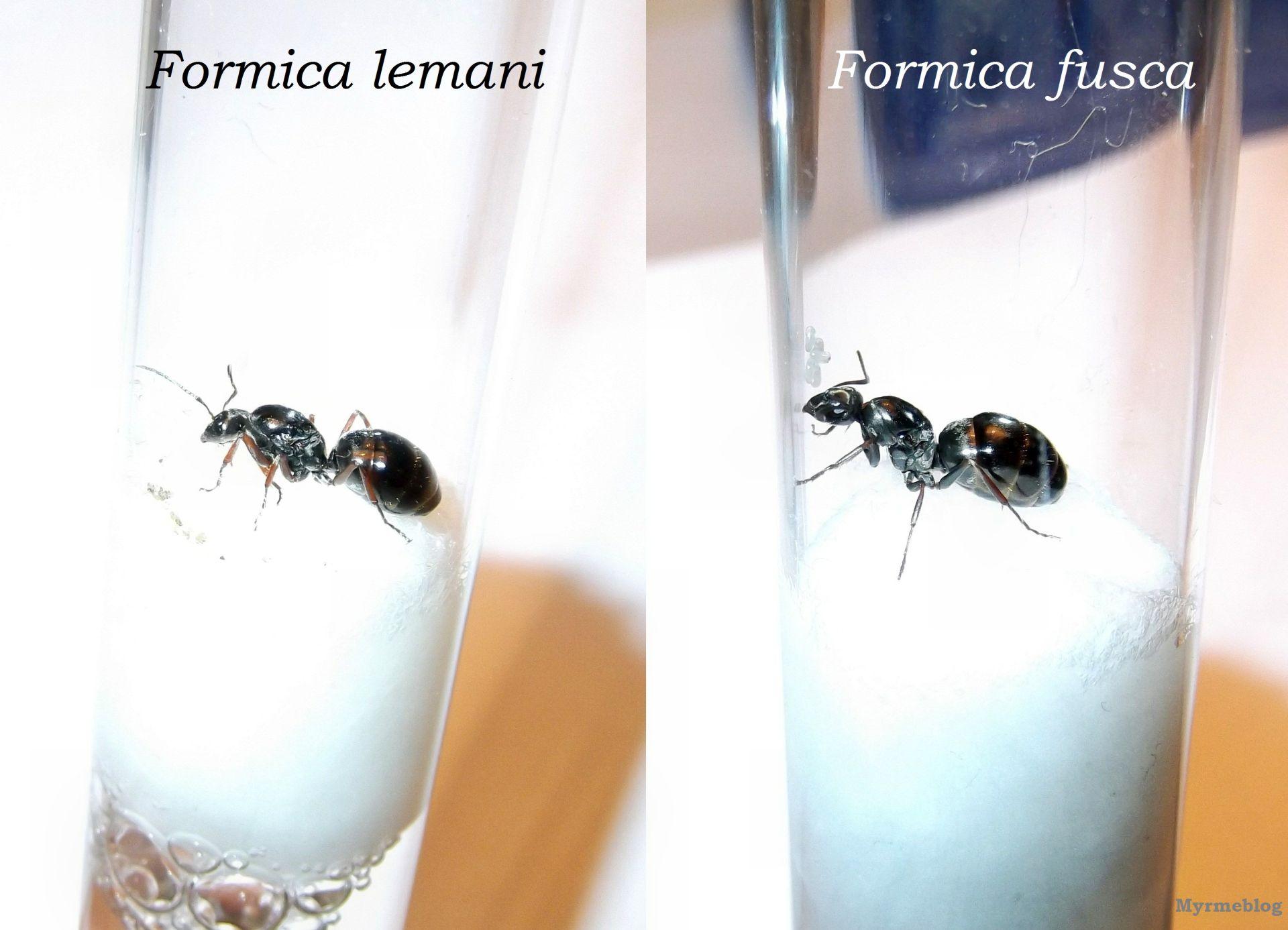 Porównanie Formica lemani i Formica fusca