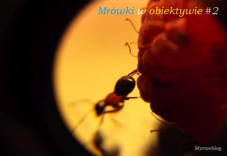 Mrówki w obiektywie #2