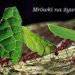Mrówki na żywo
