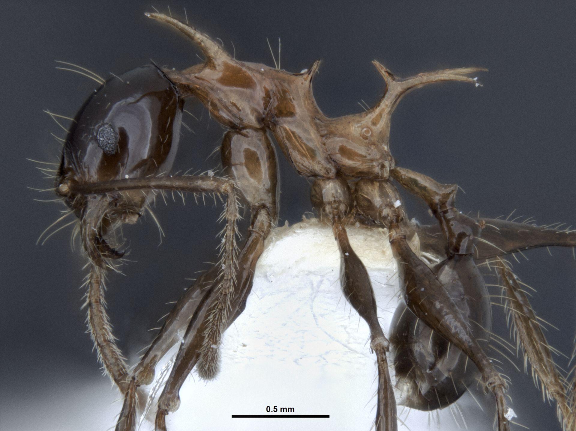 Mrówki smoki - Pheidole drogon