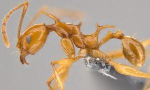 Mrówki smoki - Pheidole viserion