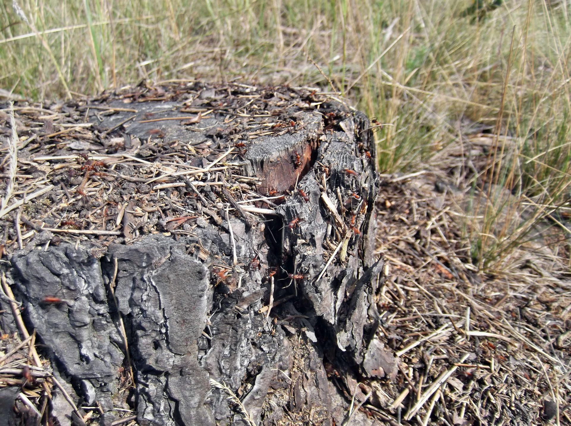 Gniazdo Formica sanguinea