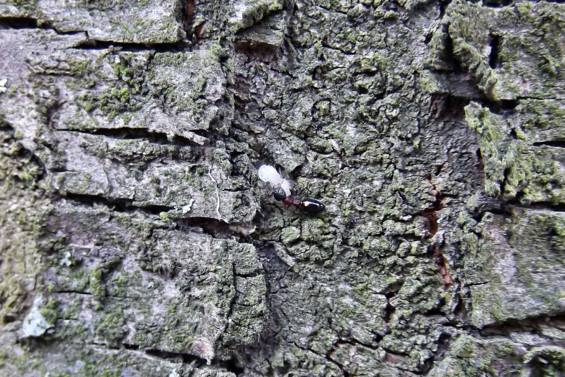 Robotnica i poczwarka Dolichoderus quadripunctatus