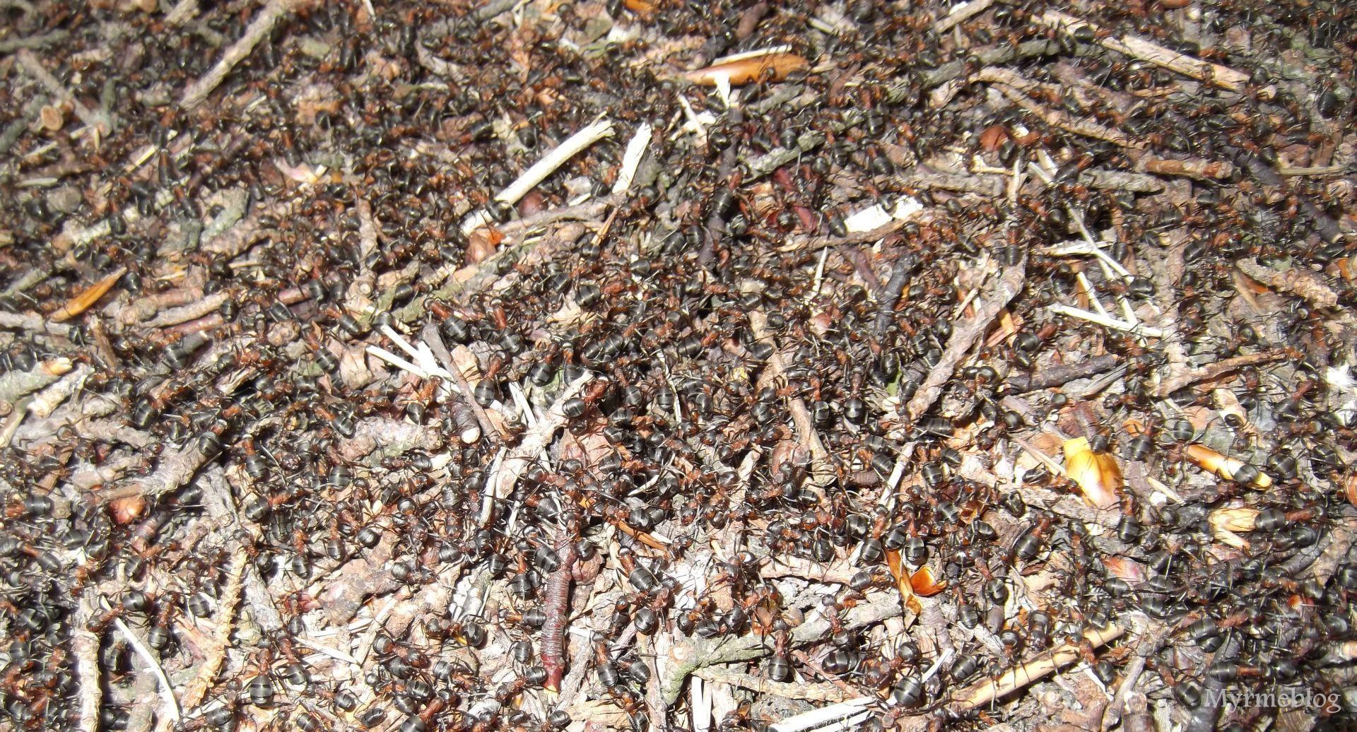 Mrówki leśne
