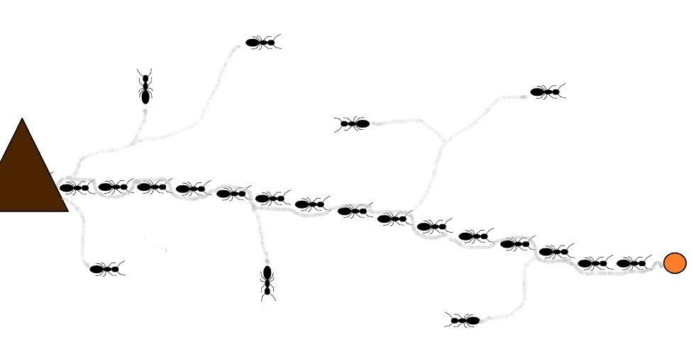 Jak kolonia mrówek odnajduje pokarm?