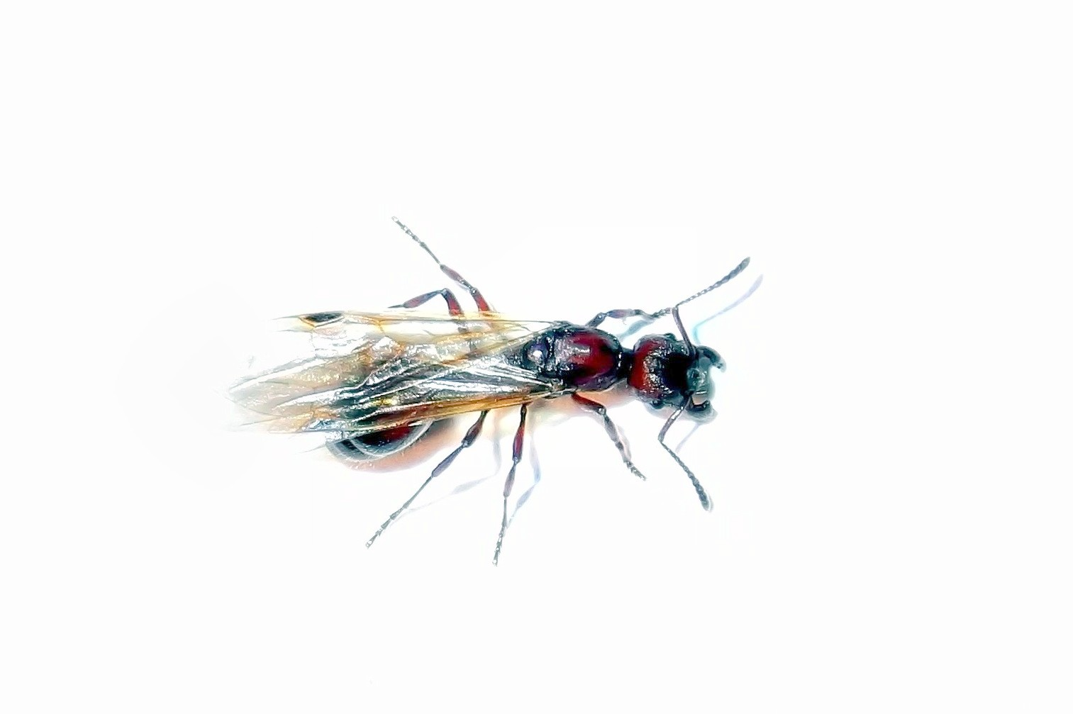 Królowa mrówek Manica rubida