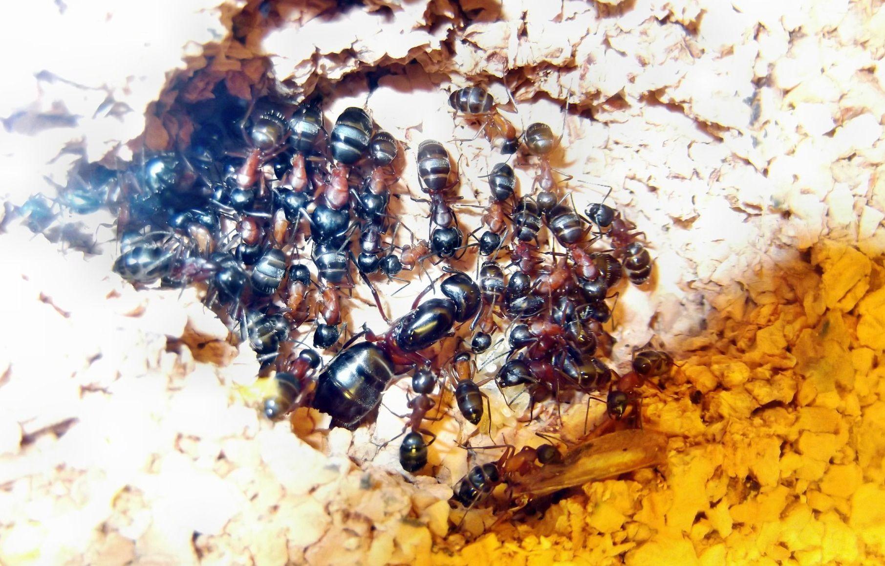Królowa mrówek Camponotus herculeanus