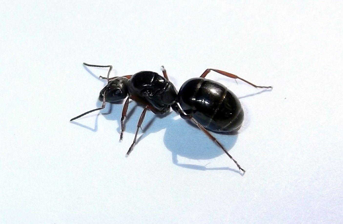 Królowa mrówek Formica fusca