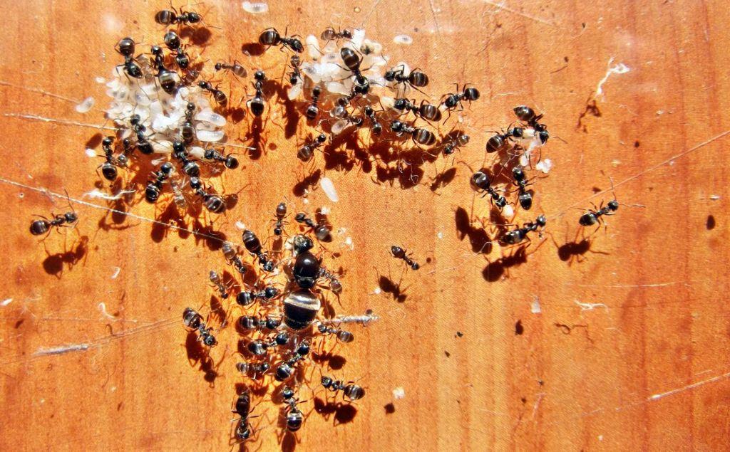 Królowa i robotnice mrówek - porównanie