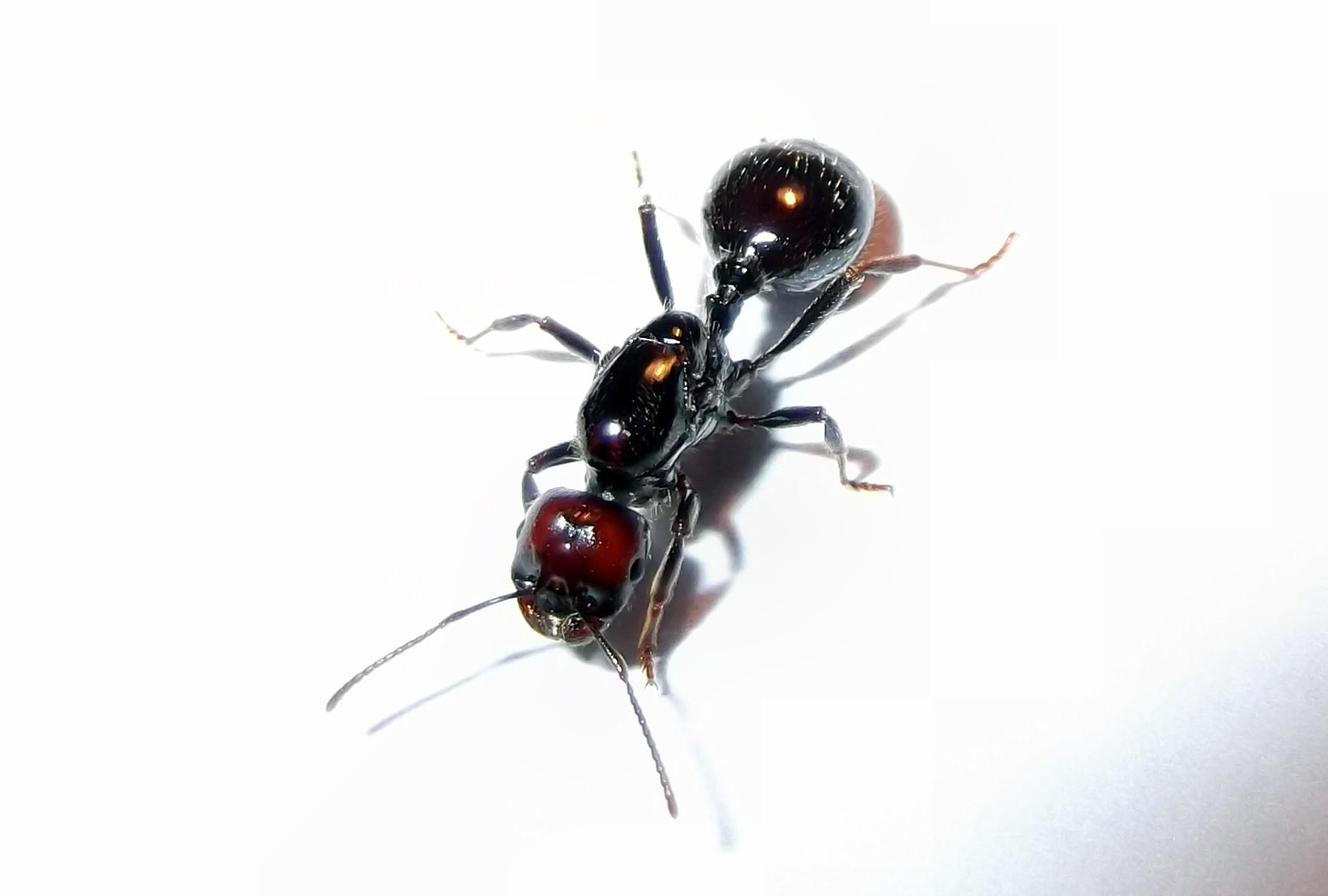 Królowa mrówek Messor barbarus
