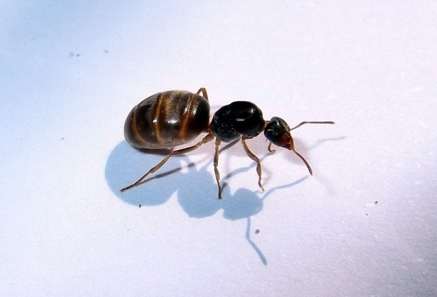 Królowa mrówek Lasius flavus