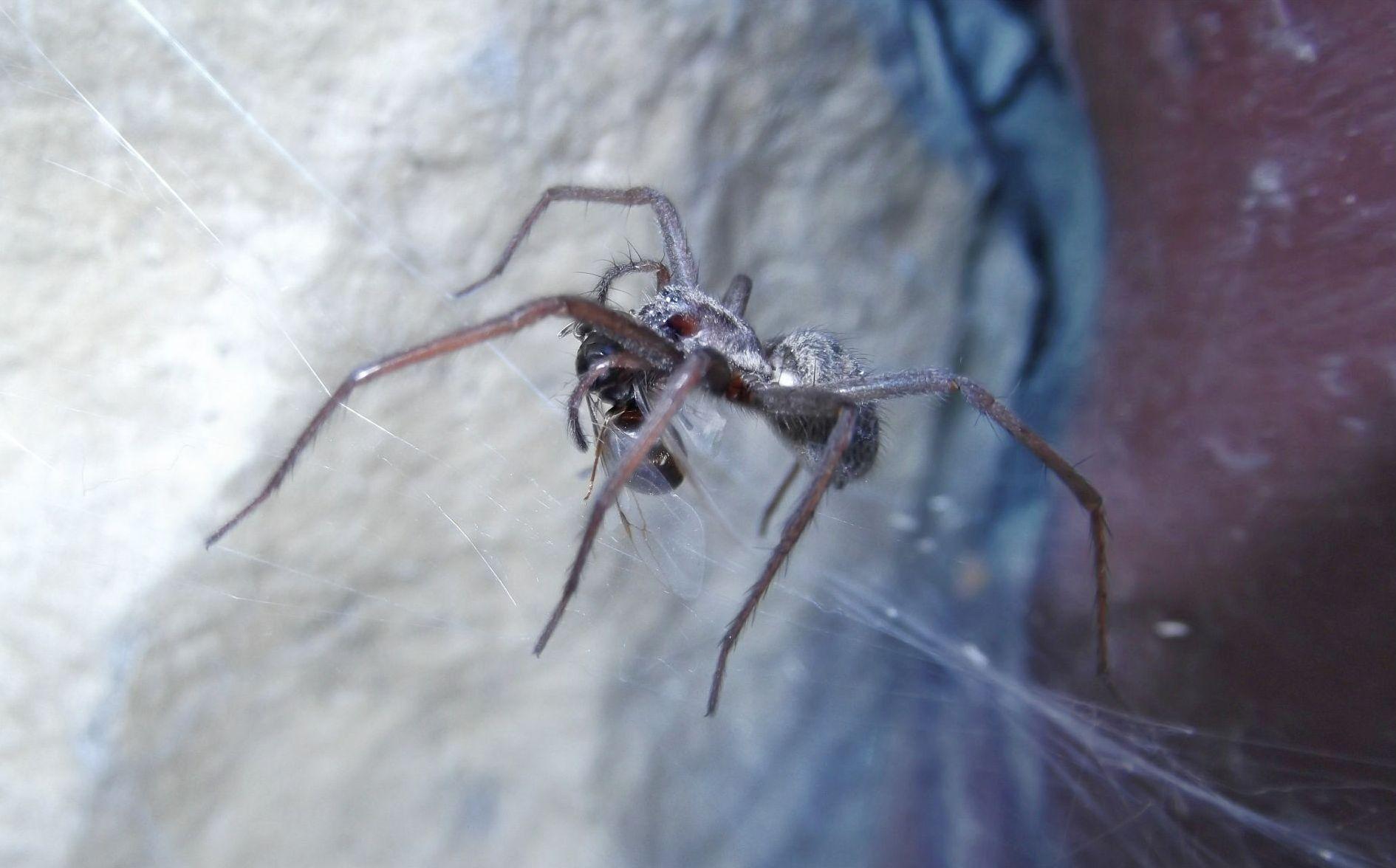 Królowa mrówek w sieci pająka