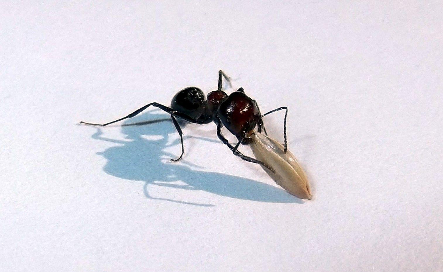 Znaczenie mrówek: mrówki roznoszą nasiona