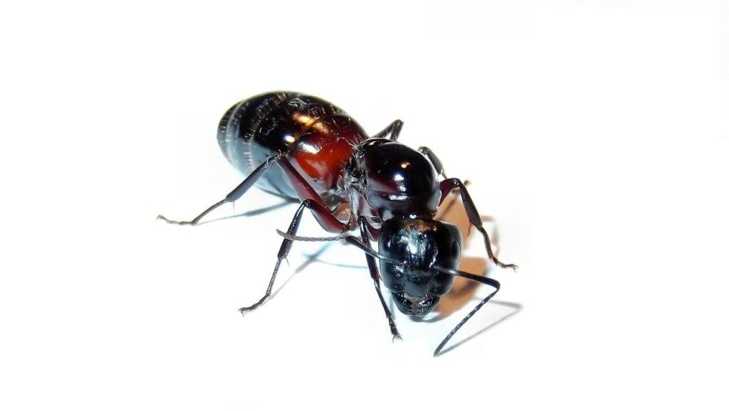 Królowa mrówek