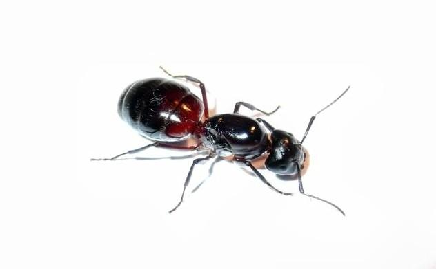 Królowa mrówek Camponotus ligniperda