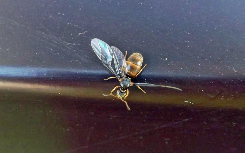 Królowa mrówek - podziemnica zwyczajna (Lasius flavus)