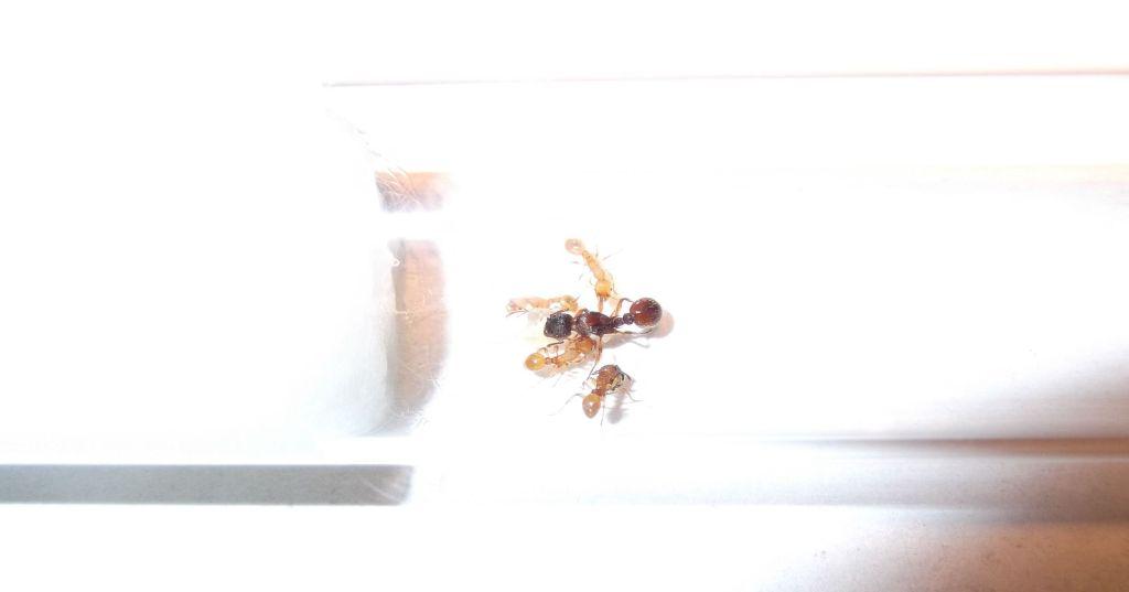 Królowa mrówek Myrmica sp.