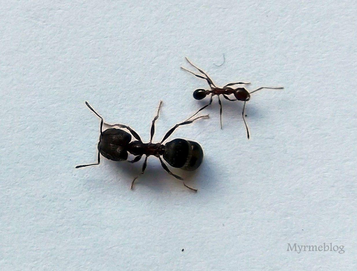 Hotel dla mrówek: Pheidole indica