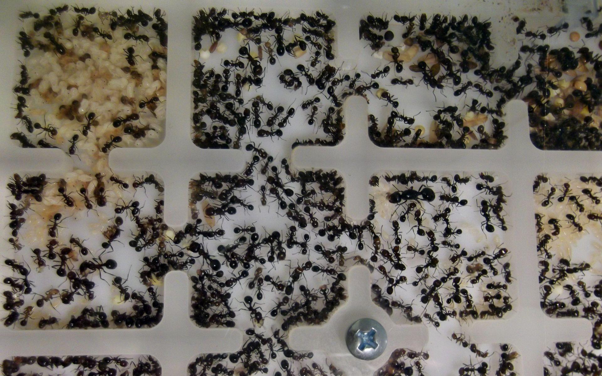 Moda na mrówki