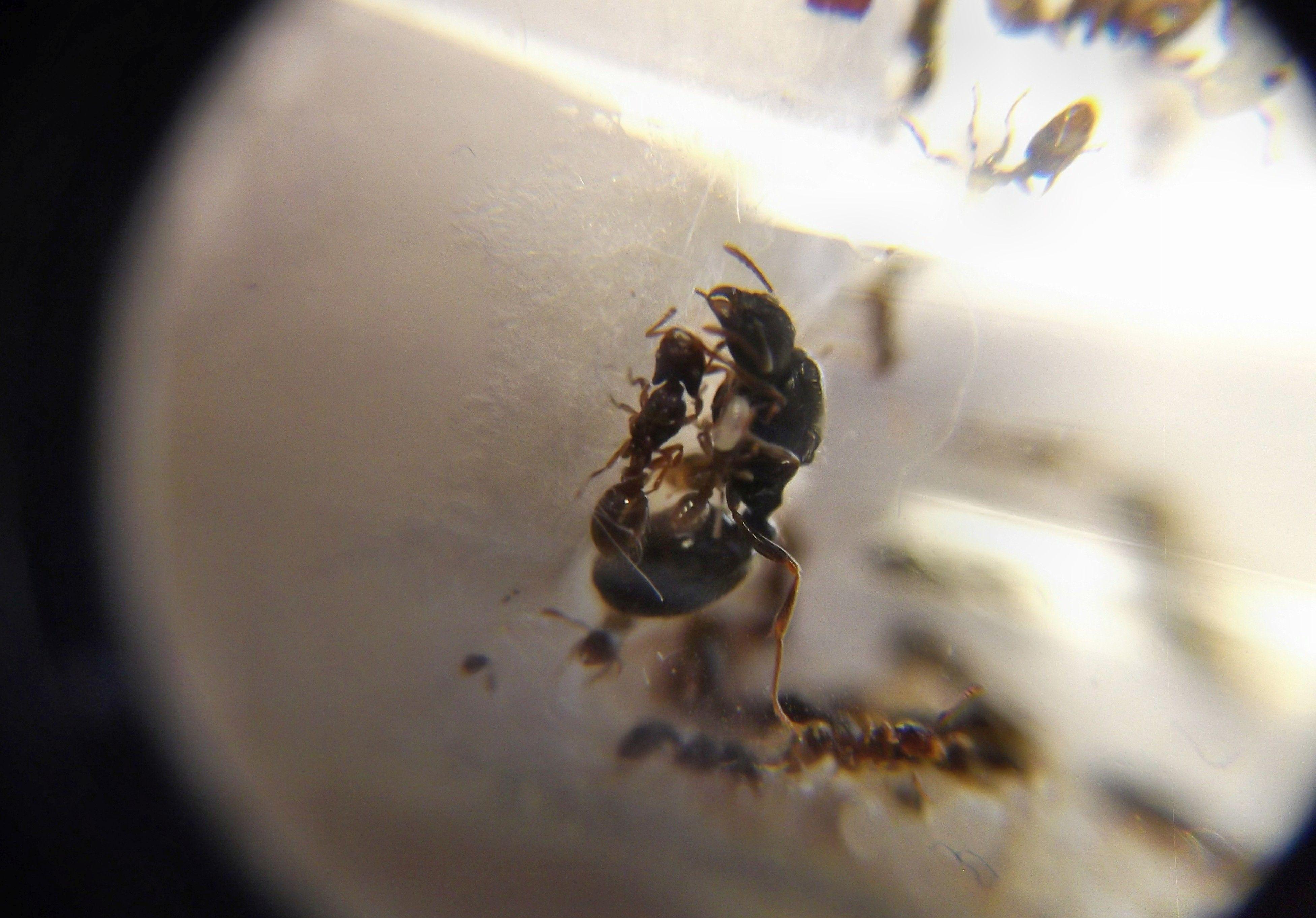 Strongylognathus testaceus i Tetramorium caespitum