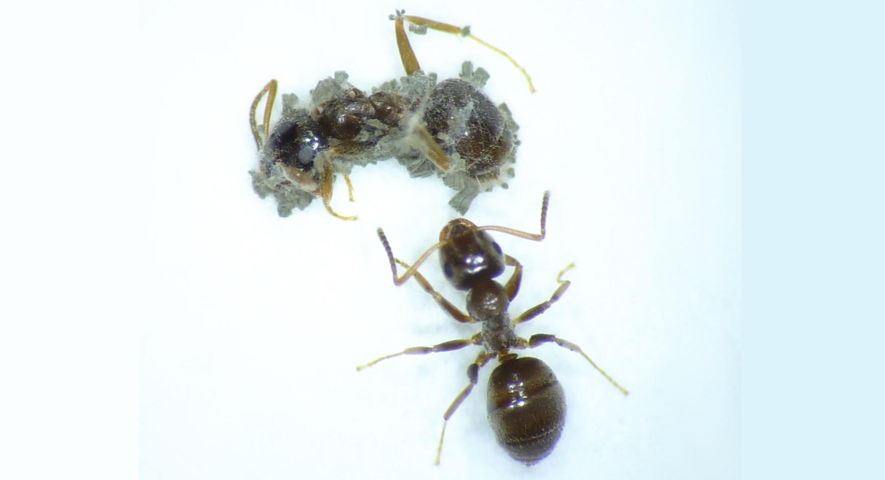 Czego możemy nauczyć się od mrówek w walce z koronawirusem?